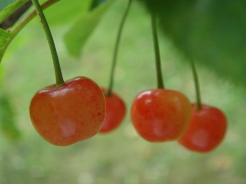 Cherries Shine Bright @http://agileopedia.com/