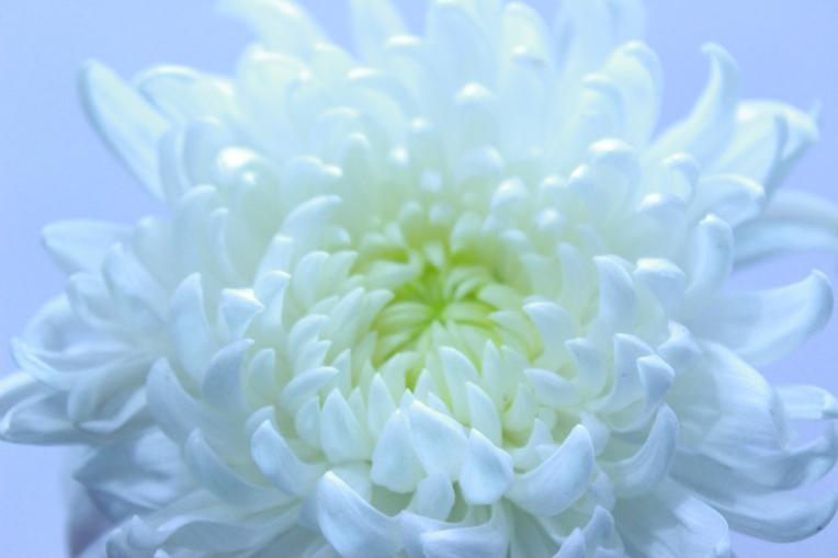 Dahlia Flower, Let peace prevail, Welcome 2016. - http://agileopedia.com/