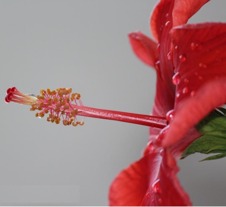 Hibiscus90