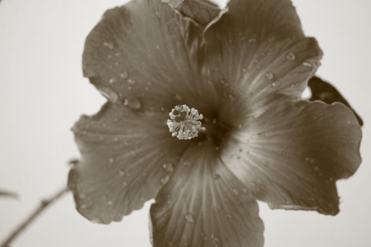 Hibiscus_Agileopedia_Monochrome.-Sepia