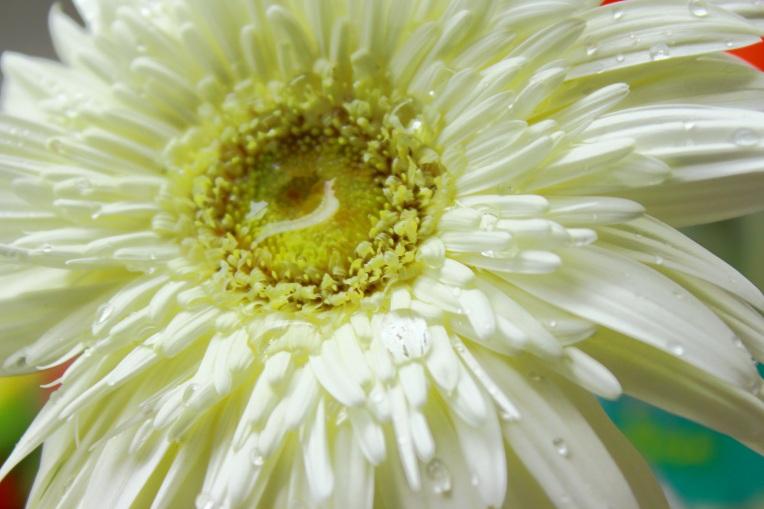 White_Gerbera_Daisy_Flower