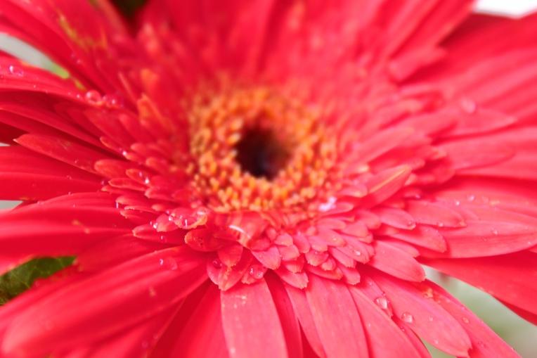Pink_Daisy