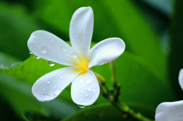 Rain_Drops_White_Flower_Plumeria