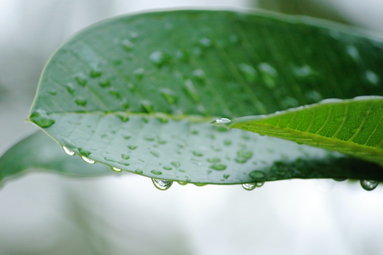 Raindrop_On_Leaves