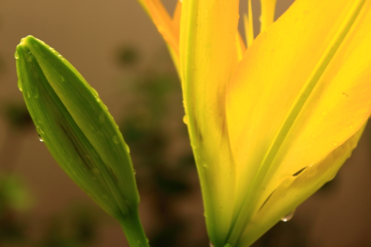 Yellow_Lilies