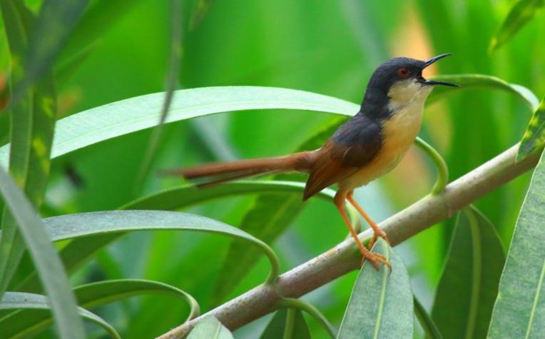 chirpingbird